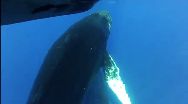 A humpback whale checks out a boat full of tourists in this video still.