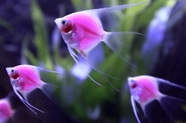 Genetically-engineered fish glow in a tank during the 2014 ...