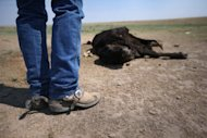 Rancher Gary Wollert inspects a dead cow on dry grasslands on near Eads, Colorado on August 22. World climate change negotiators faced warnings Thursday that a string of extreme weather events around the globe show urgent action on emission cuts is needed as they opened new talks in Bangkok