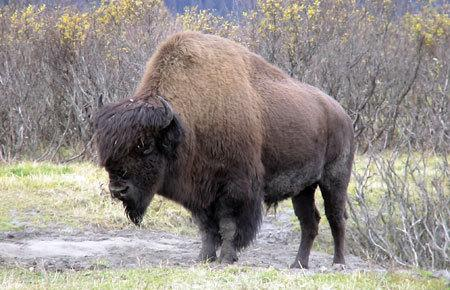 Wood bison bulls can weigh up to 2,000 pounds.