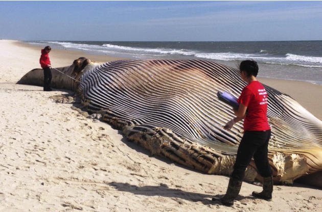 In this photo provided by The Riverhead Foundation, authorities investigate the death of a 58-foot finback whale that washed ashore on an eastern Long Island beach in Shirley, N.Y., Thursday, Oct. 9,