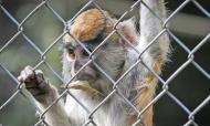 Zoo Monkey Murder Suspect Was Bitten By Primate