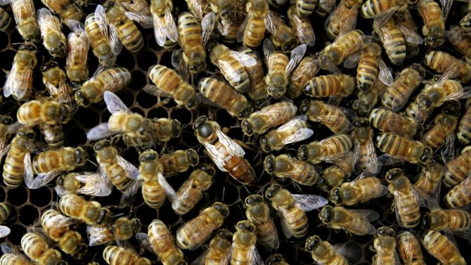 FILE - This April 25, 2007 file photo shows a colony of honeybees at the Agriculture Department's Bee Research Laboratory in Beltsville, Md. A new federal report blames a combination of problems for a mysterious and dramatic disappearance of U.S. honeybees since 2006. The factors cited include a parasitic mite, multiple viruses, bacteria, poor nutrition and pesticides. Experts say having so many causes makes it harder to do something about what's called colony collapse disorder. The disorder has caused as much as one-third of the nation's bees to just disappear over the winter each year since 2006. The report was issued Thursday by the Agriculture Department and the Environmental Protection Agency.  (AP Photo/Haraz N. Ghanbari, File)