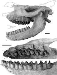 Here, the cranium and mandible of the rhino are shown as they may have appeared when the animal was alive some 9.2 million years ago. The corrugated features on the bony surfaces likely indicate they were exposed for a good length of time to wa