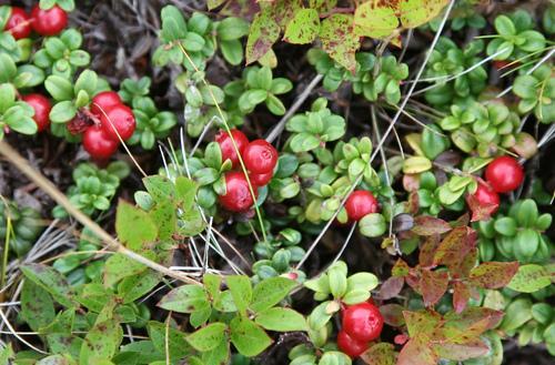 Partridge Berry Inn Partridge Berries Photo