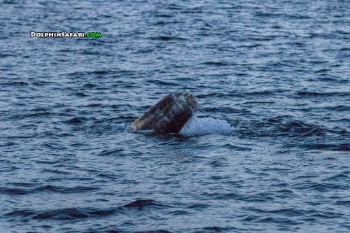 A Marine Miracle: Whale Is Spotted Swimming Without Tail