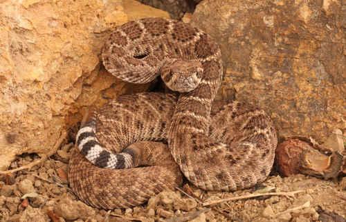 Rattlesnake Roundup Oklahoma Oklahoma Mangum Rattlesnake