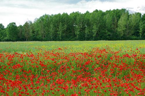 Flanders Field WWI
