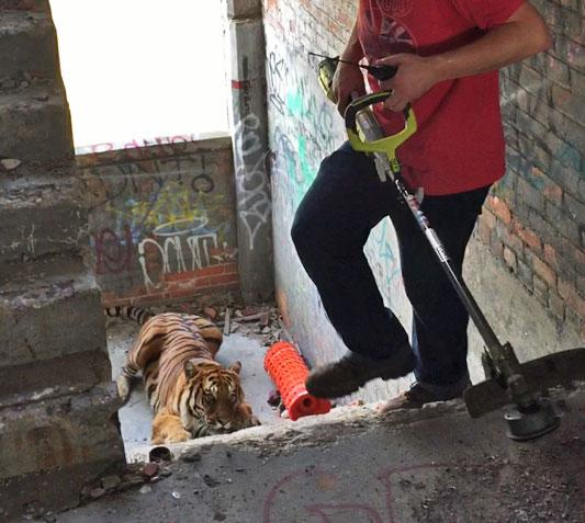 An Actual Tiger Was Caught Roaming Detroit's Abandoned Packard Plant