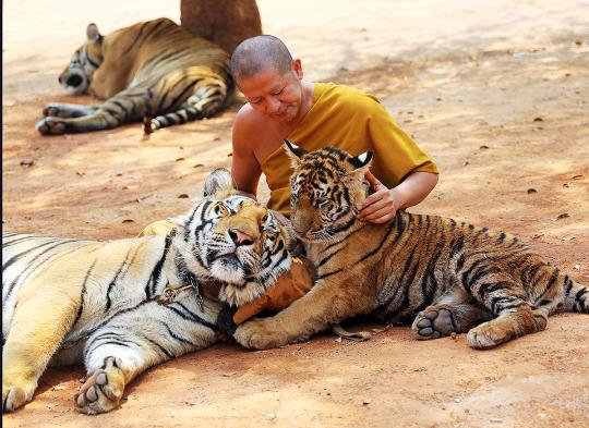 "Thailand's Controversial ""Tiger Temple"" Forced to Give Up Its Tigers"