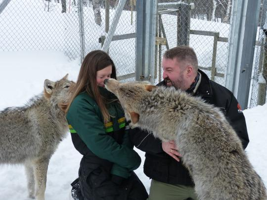 Pucker Up! Kissing Wolves in Norway