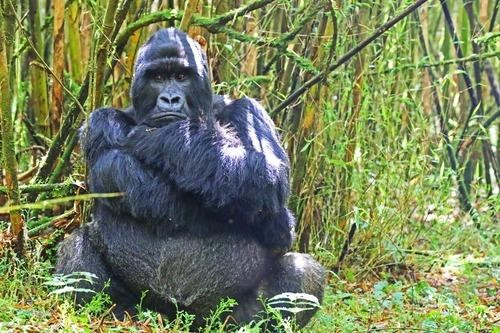 Mud, Sweat, and (Joyful) Tears: A Gorilla Trek in Rwanda