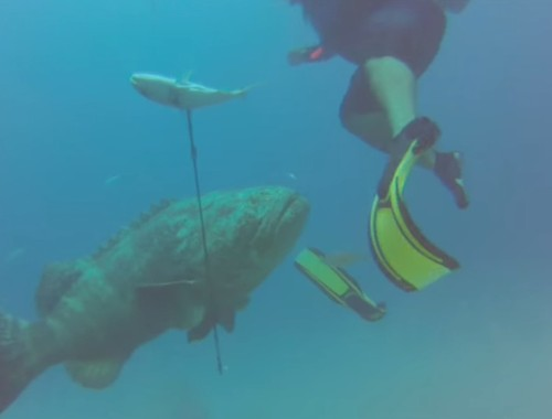 WATCH: A Grouper Attack — What Happens When Diving Goes Bad