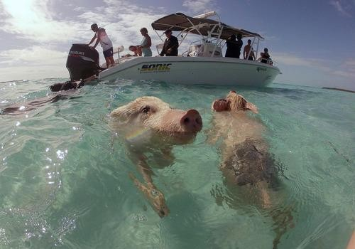 #Daydream:  Swimming pigs in Exuma, the Bahamas