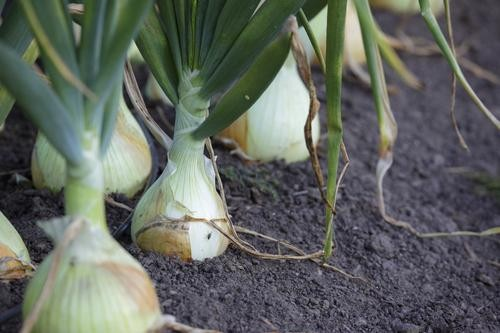 Vidalia Onions: The Best Thing to Buy, The Best Ways to Eat It—Now!