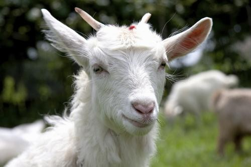 Goats Are the Best Animals on the Internet