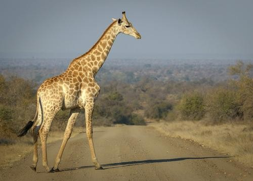 #Daydream: A giraffe roams through Kruger National Park in South Africa
