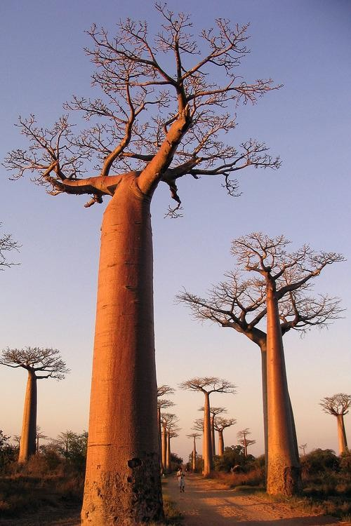 #Daydream: Avenue of the Baobabs, Madagascar