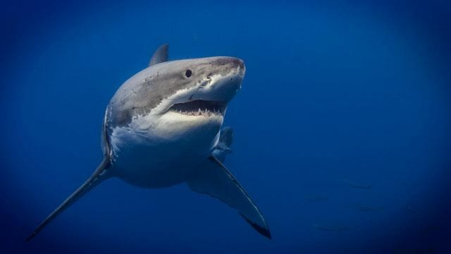 WATCH: A Man Traded in his Girlfriend for This Great White. See What Happens