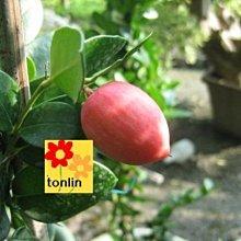 ╭☆東霖園藝☆╮優質苗木--美國櫻桃( 卡利撒 )-圍籬-觀果.盆景為主