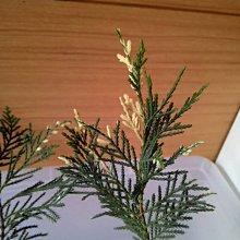 ╭☆東霖園藝☆╮優質樹種(三光柏)