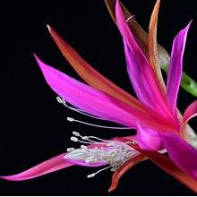 孔雀仙人掌莖葉 Epiphyllum Frulingspracht 總長25公分以上 [飛訊庭園]