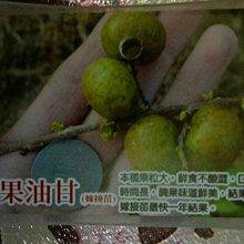 花花世界_水果苗【大果油甘】4吋盆/20-30cm/平地可種 TN