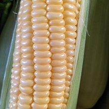 伊傳蔬果園 水果玉米 金密品種 新園開採中