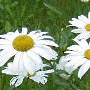 缺貨中-花花世界_季節花卉--白瑪格 ( 白瑪格麗特 )--超會開花/5吋盆/ 高20-30公分/TS