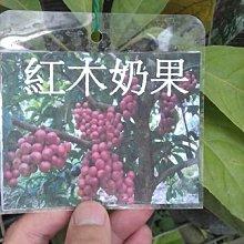 ╭☆東霖園藝☆╮稀有果樹-(紅果木奶果)本品系為少見的紅果品系