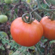 依妍館 伊傳蔬果園 溫室無毒牛番茄 鮮採 特價中