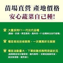木瓜苗 熱門品種(紅妃) 組織培養苗 保證兩性株【振華育苗】