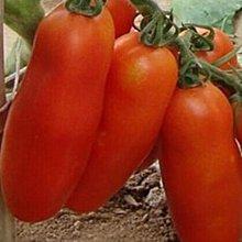 【蔬菜種子S303】奶油香蕉番茄~~特別的香蕉狀外形,淋漓盡致的番茄口味,被眾多番茄愛好者尊為奶油番茄。