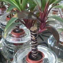 樹苗花苗玫瑰苗水果苗    - 花花世界*】WG006  水耕植物--朱蕉(紅竹)