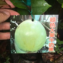 ╭☆東霖園藝☆╮水果苗(綠色大果牛奶果)星蘋果..另有紫皮.肉扁扁十六號牛奶果