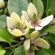 花花世界_綠籬植物 *含笑花* 8吋盆/ 高50-60cm/ 帶有香蕉的香氣 /MA