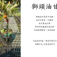心栽花坊-獅頭油甘/水果苗/油甘品種/嫁接苗/售價700特價600