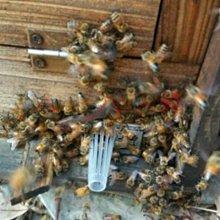 【688蜂具】中蜂塑膠巢門防盜器 蜂具 養蜂工具 防盜蜜 塑料巢門防盜器 中蜂蜂王 中蜂王 蜂群防盜 防盜蜜