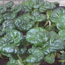 【1磅裝蔬菜種子P278】迷你奶油白菜~約三週就可採收的速成蔬菜!