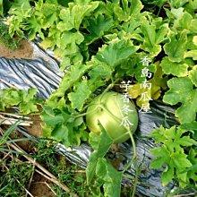 香島南瓜屋-芋香冬瓜,無農葯無化肥人工耕種、除草、採收,20斤起免運費宅配