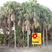╭☆東霖園藝☆╮棕櫚--(台灣蒲葵)蒲葵--可海濱種植---缺貨中
