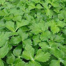 【1磅裝蔬菜種子P160】玉芳山芹菜~全株綠色、葉片、葉柄及嫩莖均可食用