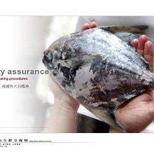 【水汕海物】大白鯧魚正雙藍帶。優惠活動中~95折 !『門市熱銷、品質保證』