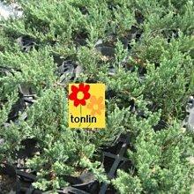 ╭☆東霖園藝☆╮超優質樹種( 倒柏)倒地柏--種植水池邊.石頭縫...
