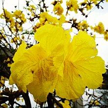 元茂園藝龍潭聖亭路園區 黃金風鈴木 中尺寸盆栽 北部地區可正常開花的品種,本商品可宅配,含盆約170公分高