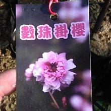 ╭☆東霖園藝☆╮稀有日本櫻花(數珠掛櫻)  新品-重瓣花-數量不多  缺貨中