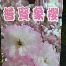 缺貨中-喬木-櫻花 ** 普賢象櫻 ** 4吋盆/高35-40cm/浪漫觀花植物【花花世界玫瑰園】s