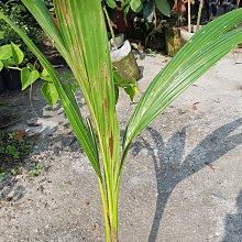 李家果苗 泰國矮椰子 造景 4-5年生果 單價200元 黑貓宅配可放10顆 超商可放4顆