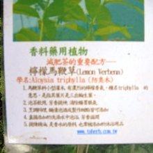 花花世界-香草植物*檸檬馬鞭草*防臭木-香水木/5吋盆/高15-25cm / 很受歡迎的花草茶 /MA