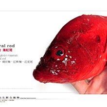 【水汕海物】 頂級美味 海紅斑(紅舵斑)。南台灣小琉球船釣,量少,下標前請先詢問 !『門市熱銷、品質保證』
